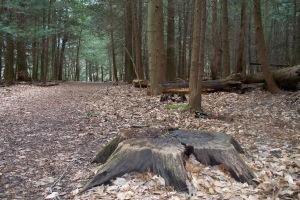 hemlock-forest-2