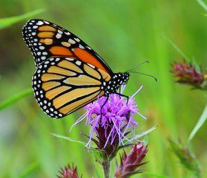 monarch-butterfly-lg3