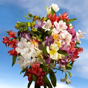 assorted-color-alstroemeria-flowers-wholesale-flowers-globalrose z
