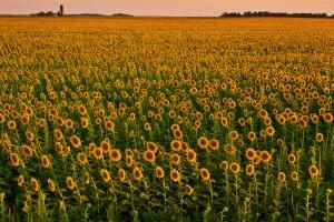 Kansas-Sunflowers