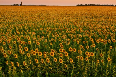 Kansas-Sunflowers