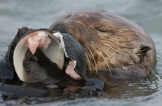 otter-eating-clam
