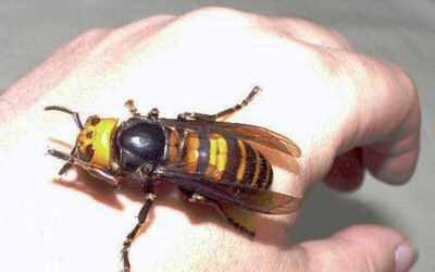japanese-giant-hornet