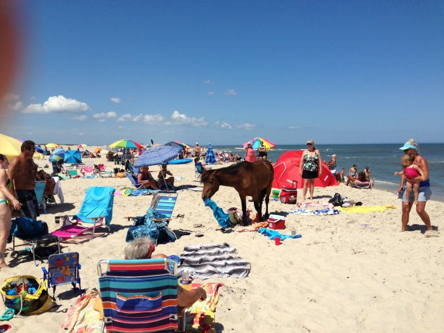 Michael-Pruiksma-Assateague-Island-horses-terrorize-tourists