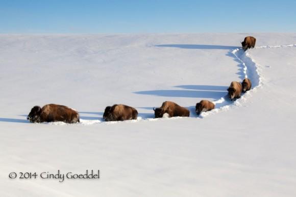 http://goeddelphotography.com/portfolio/wildlife/bison/bison-single-file-deep-snow/