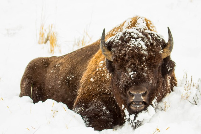 http://horsefeathersphotography.com/shop/snow-bison/