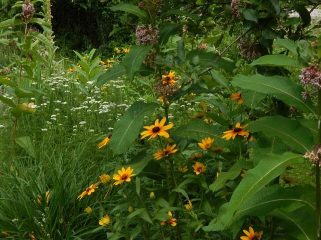Milkweed & Rudbeckia