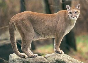 cougar-600p