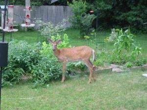 deer-in-garden